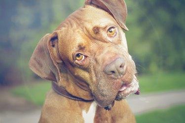 Boxer turning head staring at camera