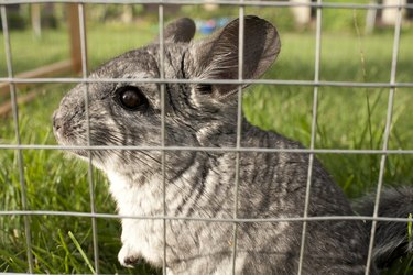 Chinchilla is listening