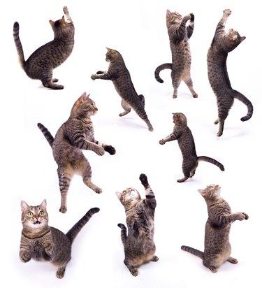 The biped cat