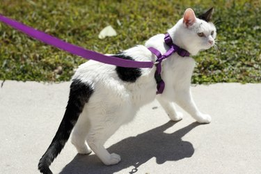 Feline wearing a cat harness. How to put on a harness is challenging.