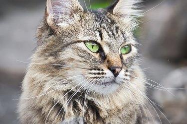 A fluffy cat close up.