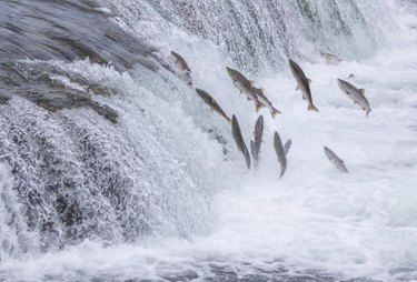 Salmon Jumping Up the Falls