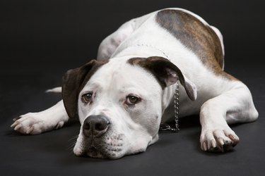 american bulldog sleeping of black background.