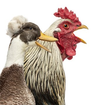 Close-up of a Brahama rooster and a Crested duck quacking, isolated on white