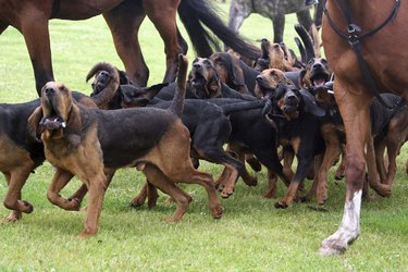 bloodhound hunting