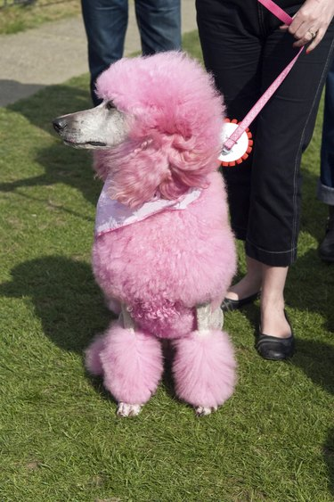 poodle in pink