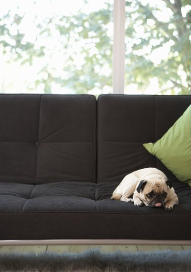 Pug lying on sofa, looking away