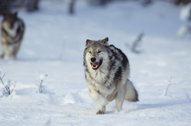Wolf during Winter in snowy forest