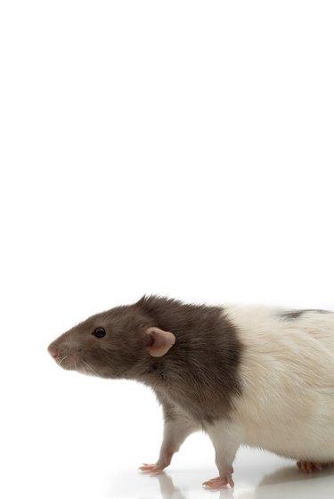 Studio shot of live rat