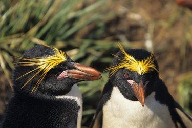 Macaroni penguins (Eudyptes chrysolophus), South Georgia Islands
