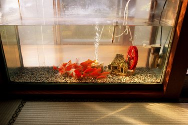 Goldfish in water tank from a distance