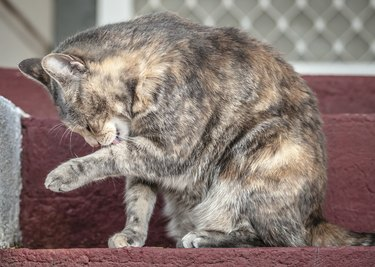 Grey and Ginger Tortoiseshell Tabby Cat Licking Herself