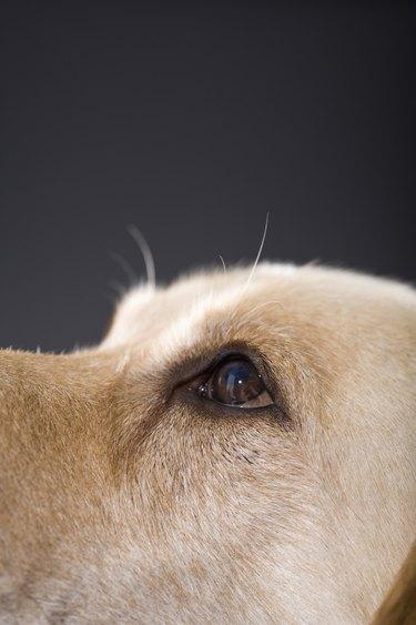 Graphic portrait of dog head, close-up