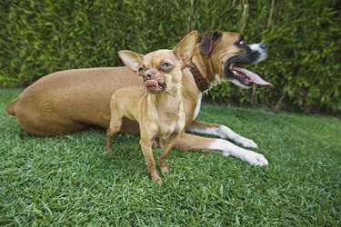 Chihuahua and Boxer