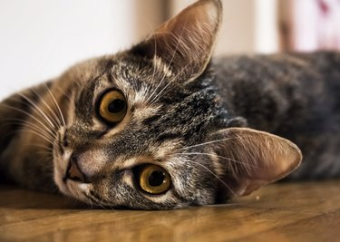 Tabby Cat Looking Into Your Eyes