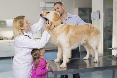 Veterinarian Examining A Family Dog