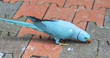 Ring neck Parrot