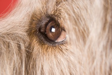 Close up of a brown dog's eye