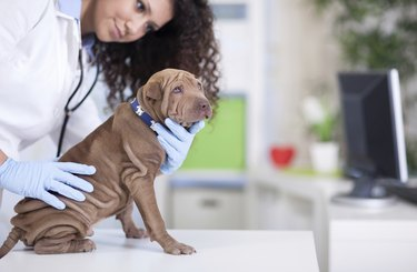 vet examines the Shar Pei dog