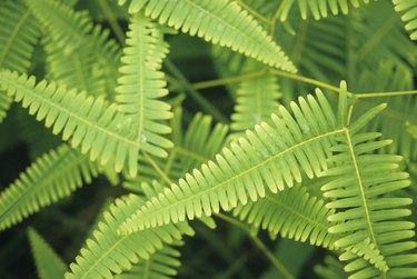 Tiger ferns, close-up