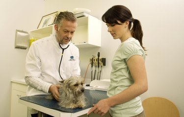 Mature male vet examining Yorkshire terrier in surgery with woman