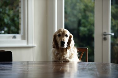 Golden retriever dog sitting at dinning table, looking away