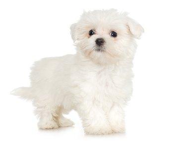 Studio portrait of Maltese puppy