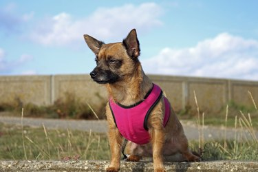 Small Dog in a pink harness