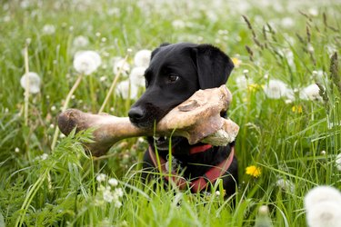 Dog with a big bone