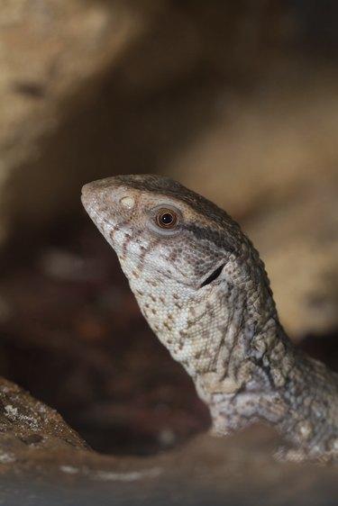 Varanus exanthematicus, savannah monitor lizards