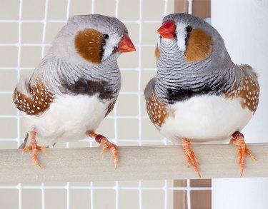 Two Male Zebra Finches