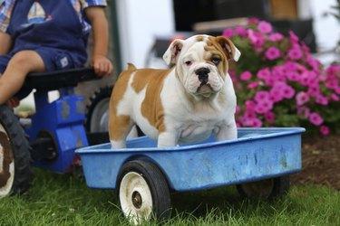 English Bulldog Puppy Standing on Toy Trailer