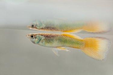 Aquarium fish guppy