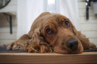 Cocker spaniel,Dog grooming