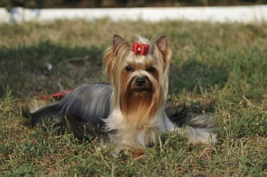 Yorkshire terrier portrait on the grass