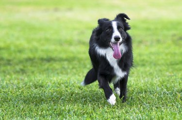 Boarder collie dog playing