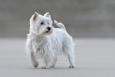 Beautiful female west highland terrier