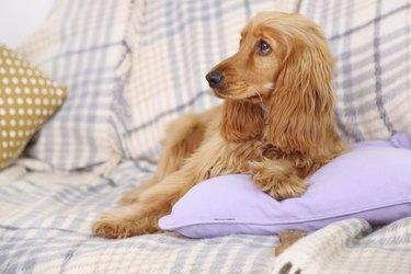 Beautiful cocker spaniel on couch in room