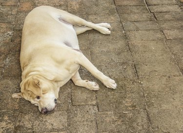 Fat labrador retriever sleep on the floor