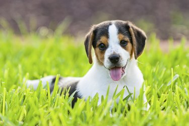 Beagle puppy sitting in the grass.