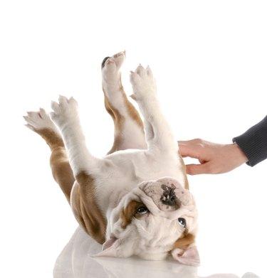 dog getting tummy rub