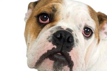 Portrait of bulldog puppy