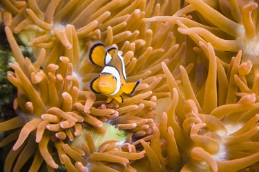 Clown fish on a sea anemone