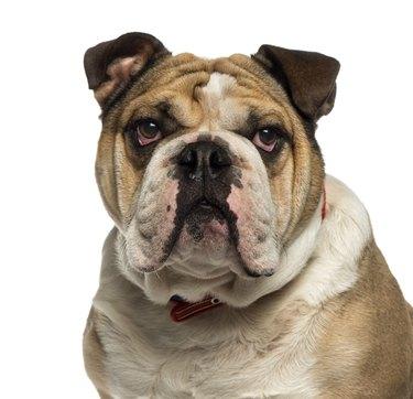 Close-up of an English Bulldog looking