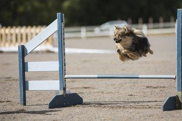 Dog jumps over an hurdle