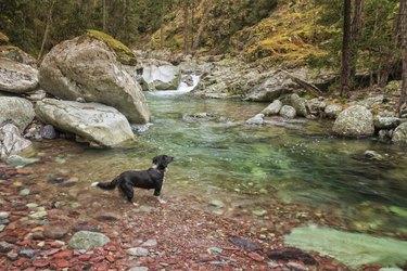 Border Collie dog paddles in the Tartagine river in Corsica