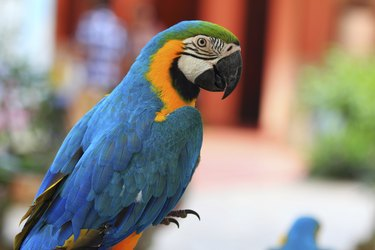 Macaw parrot with yellow and blue feathers