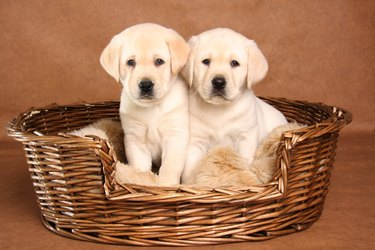 Two lab puppies 1