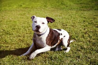 Happy white and brown pit bull. Pit bull mouth shape is a wide grin.