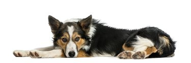 Border collie lying down, looking at the camera, isolated